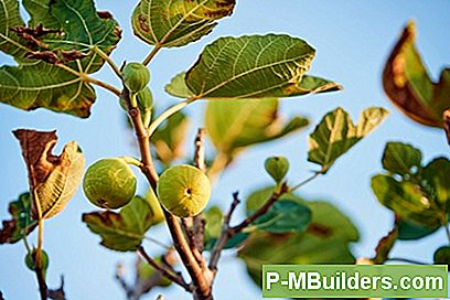 Propagera En Fig Tree Från En Cutting