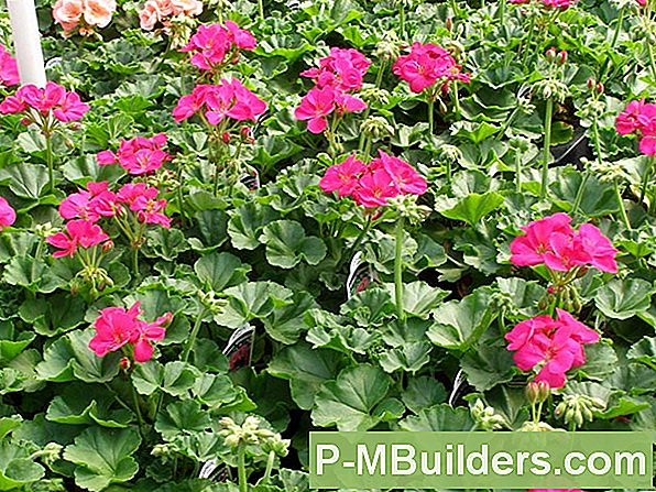 Geraniums In Containers: Watergidsen