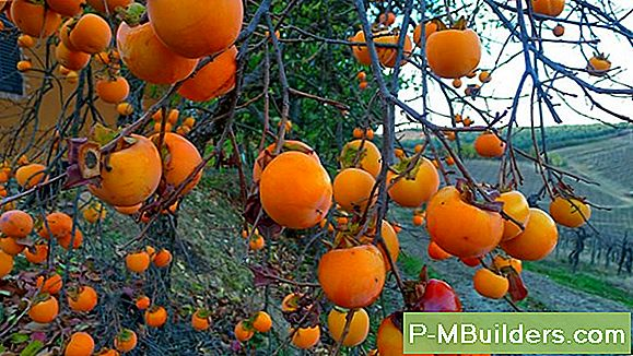 De Persimmon Tree Growing Regions