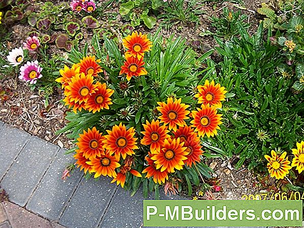 How To Grow A Gazania