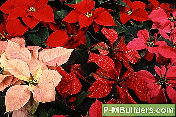 Keep Poinsettias Year Around