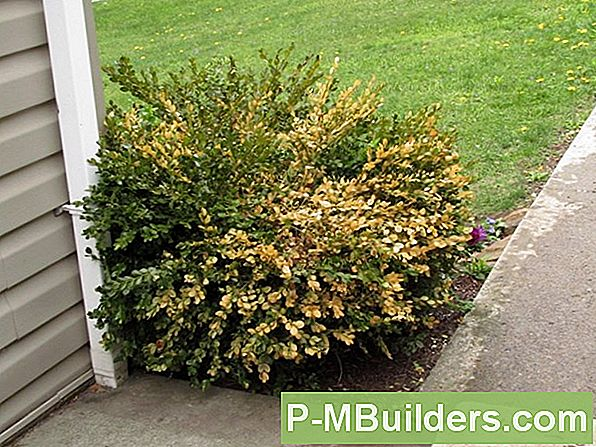 Japanese Boxwoods Vs Common Boxwoods