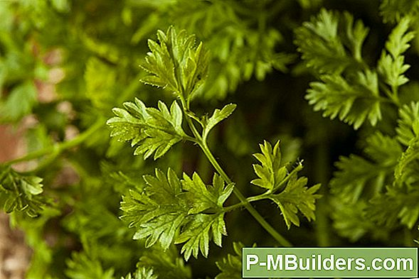 Chervil, The Herb Of New Life