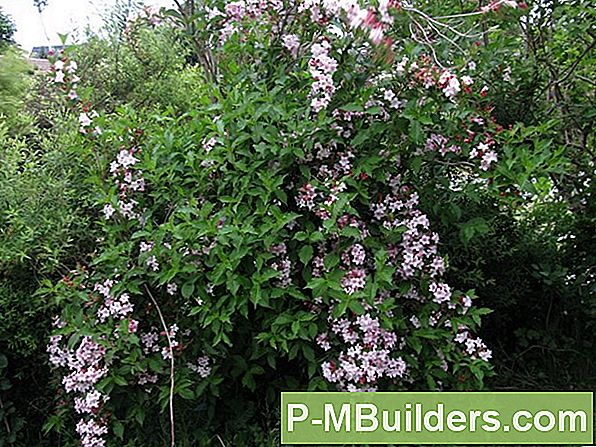 Blommande Quince Container Growing Tips