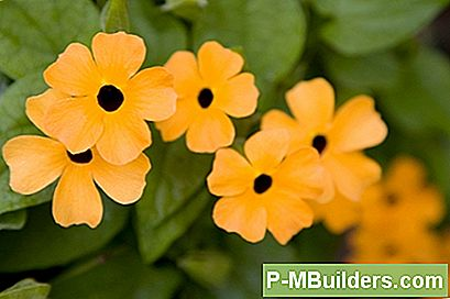 Pruning Eine Black-Eyed Susan