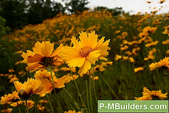 Coreopsis Lilleseemned