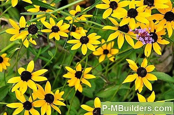 Black Eyed Susan Vine Care