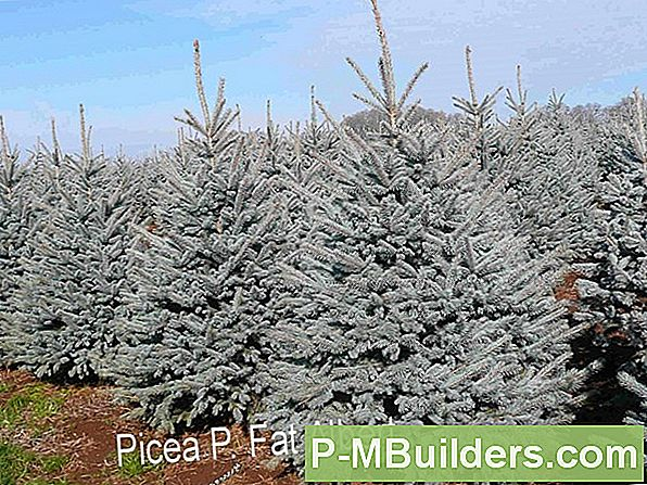Colorado Blue Spruce Trees Forklaret