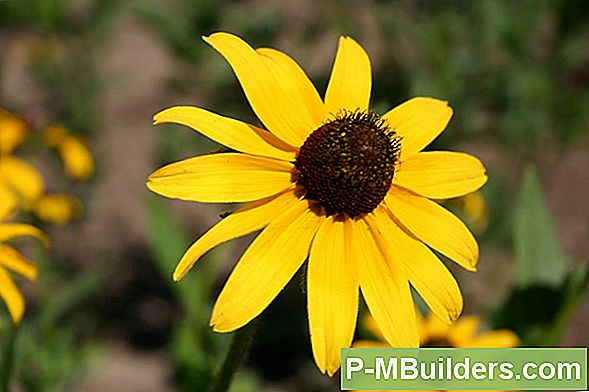Black-Eyed Susan Seeds Verzamelen