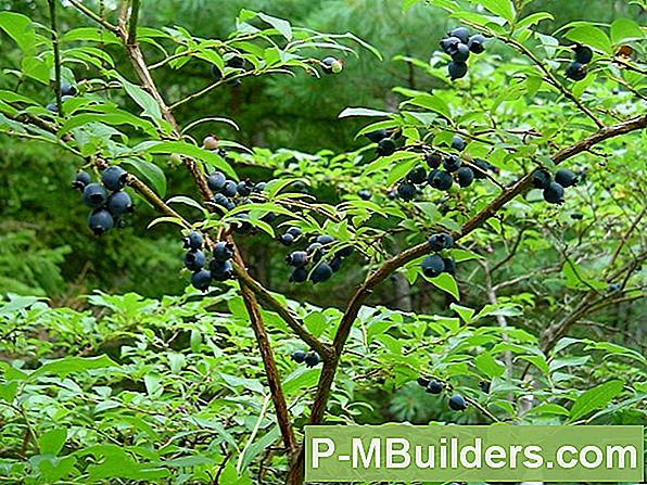 Highbush Vs Lowbush Blueberry Plants: Ripening Guide