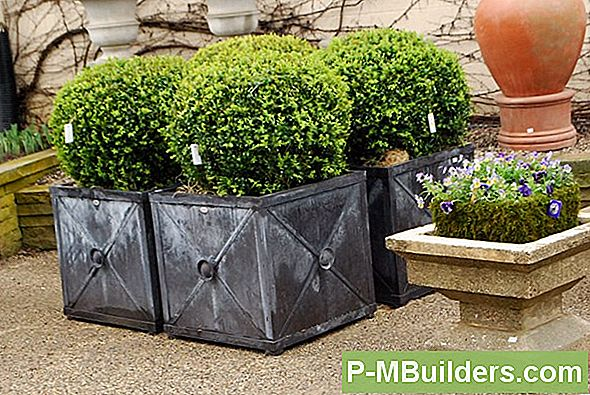 Boxwood Container Growing Tips