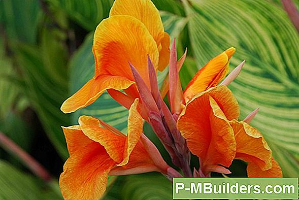 Canna Lily Care Guide