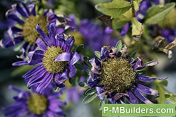 Companion Planting Your Asters