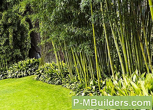 Growing Bamboo For Privacy