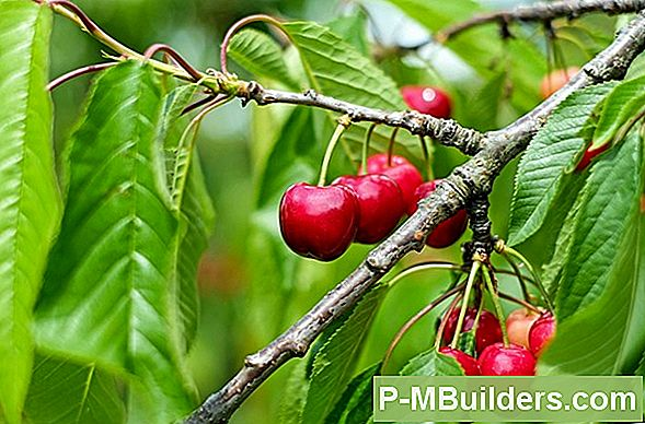 Kuidas Istutada Black Cherry Tree Farm