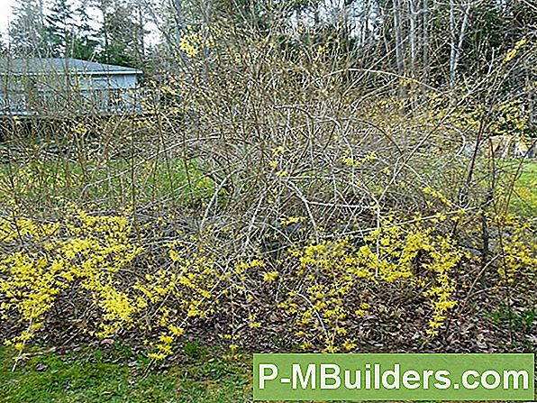 How To Prune Forsythia