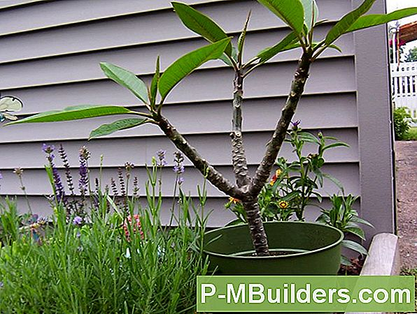 How To Repot Plumeria