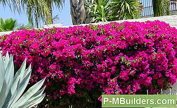 How To Transplant A Bougainvillea