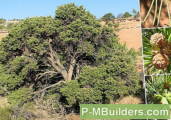 Pinyon Pine Care Basics