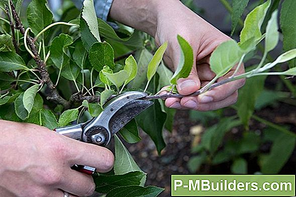 Sycamore Tree Pruning Tips