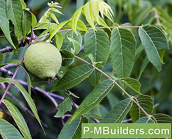 Walnut Tree Growing Tips