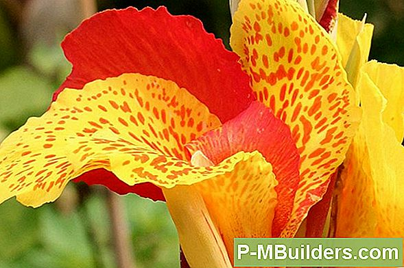 Canna Lily Pruning Tips