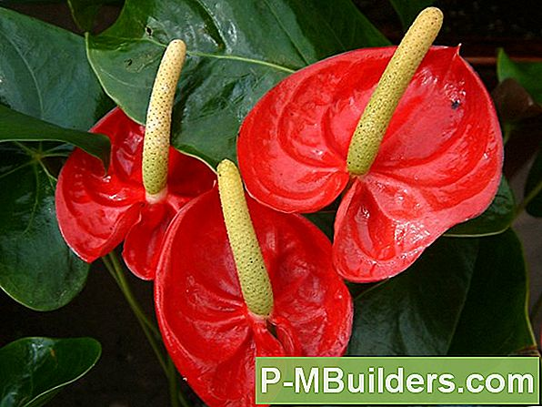 Basis Anthurium Feiten