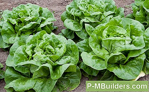 Oogst Incredible Romaine Lettuce With Organic Fertilizer