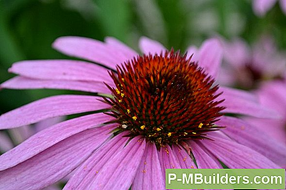 Coneflower Pruning Tips