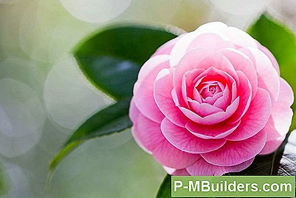 Cutting Camellia Flowers