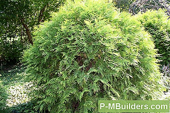 How To Prune A Arborvitae