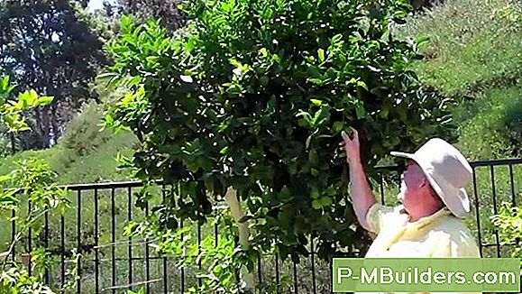 Lime Tree Pruning Tipps