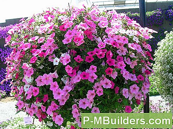 Multiflora Petunia Growing Vs. Grandiflora Petunien