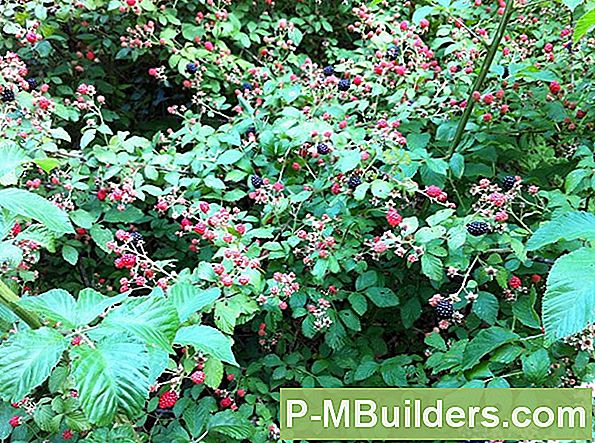Ripen Blackberries Hurtigere